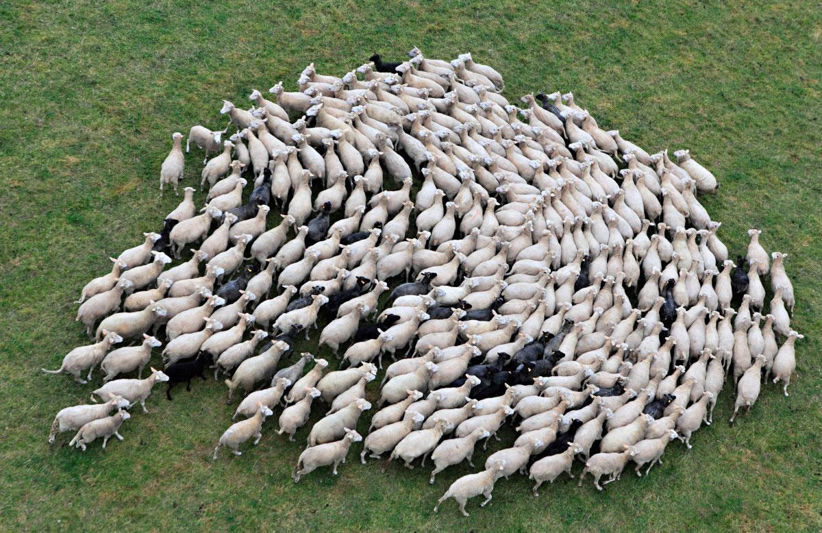mouton-prairie